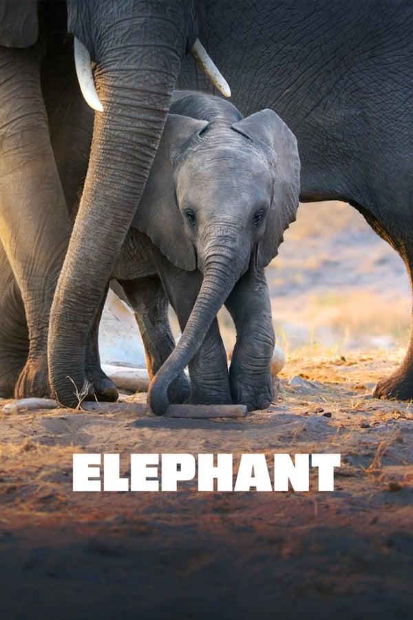 სპილო / Elephant